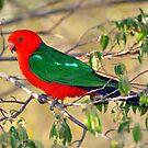 Male King Parrot. Brisbane, Queensland, Australia.(7)  by Ralph de Zilva