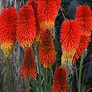 Red Hot Poker by Barbara  Glover