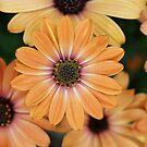 Orange Osteospurmum by dilouise
