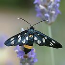 Nine-spotted Moth by marens