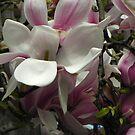 Fabulous Magnolia by Eileen O'Rourke