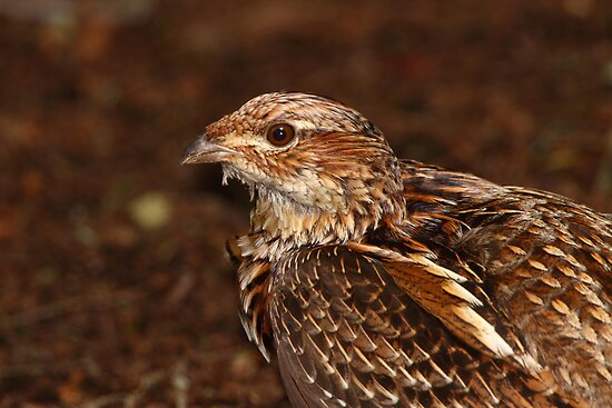 Ruffed Grouse by naturalnomad