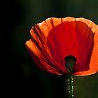 Le Poppy by geoff curtis