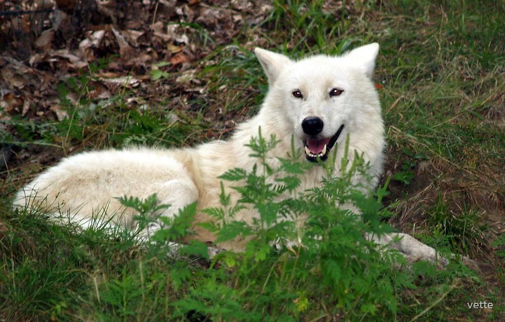 A White Beauty by vette