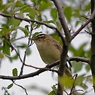 Willow Warbler  (i think) by dougie1page2