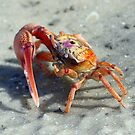 Colorful crab! by Anthony Goldman