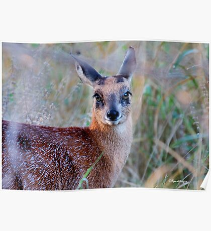 THE TINY, SHY, SCARCE, SHARPE'S GRYSBOK – Raphicerus sharpei Kruger National Park Poster