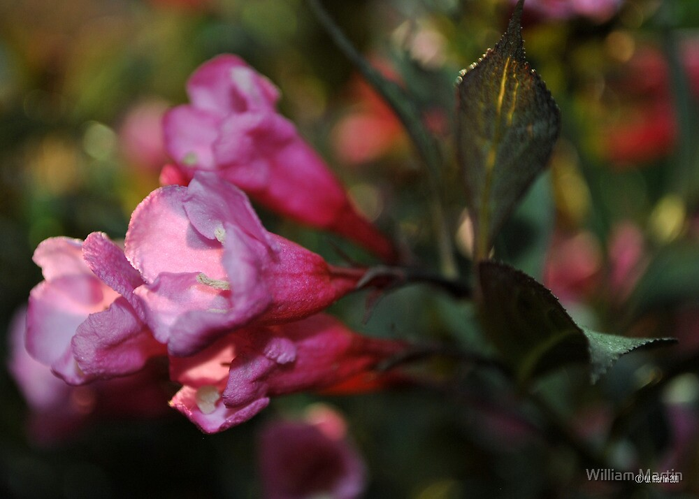 Pink Weigela in the Evening by William Martin