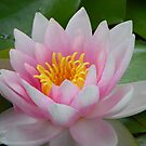 Water Lily by MaryinMaine