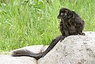 Lemur on a rock by Anthony Brewer