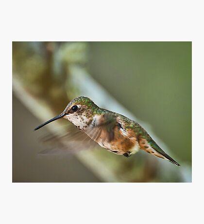 A Beautiful Female Hummingbird Photographic Print