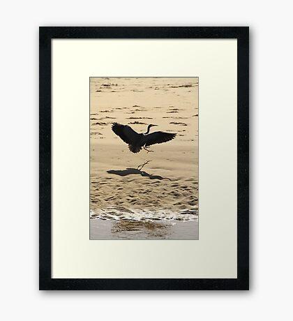 White Faced Heron Landing Framed Print