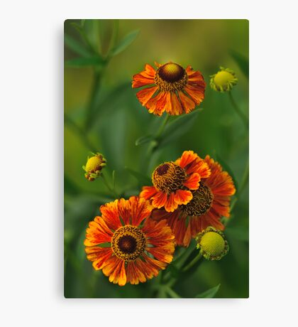 Summer Is Here - Helenium Canvas Print