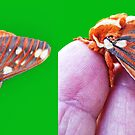 Royal Walnut Moth by barnsis