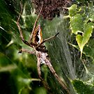 Nursery Webb Spider by SWEEPER