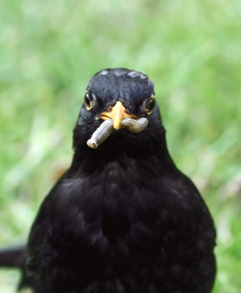 Blackbird with Fat Juicy Worm by kitlew