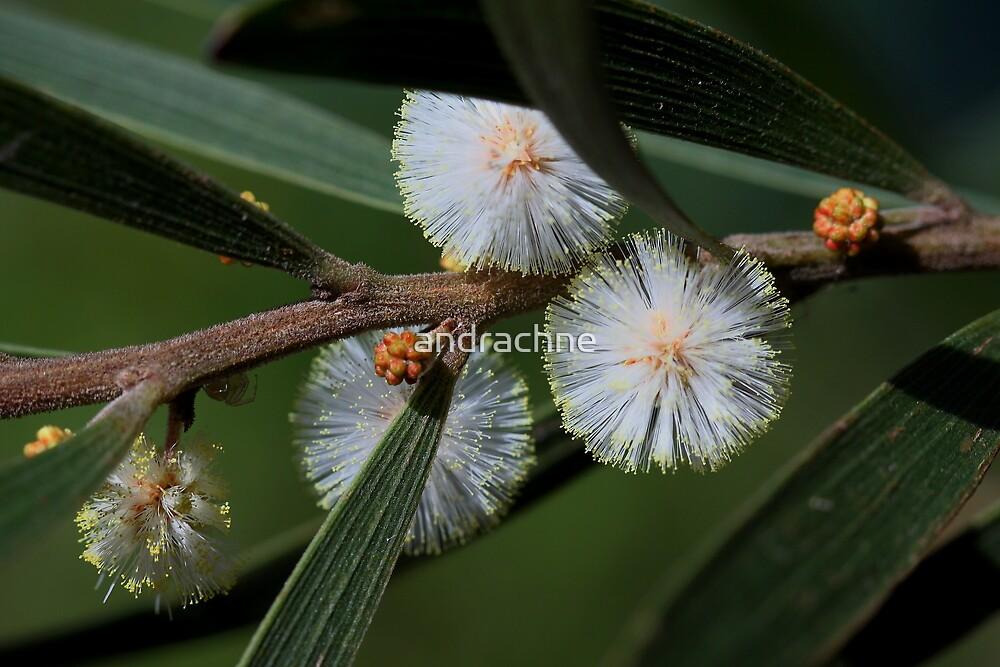 Acacia baeuerlenii  by andrachne