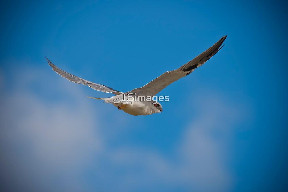 Black Shouldered Kite by 16images