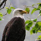 Bald Eagle by Bob Hortman
