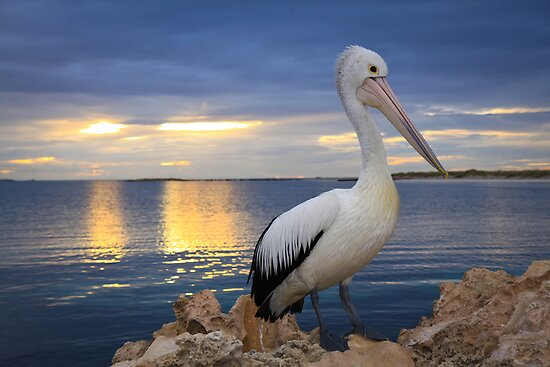 Pelican sunset by MarcRusso