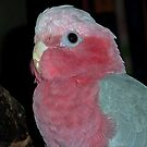 Bailey,18mth old  Pink and Grey Galah. by Toni Kane