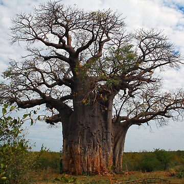 Baobab Tree, Botswana by HuskyRose1973