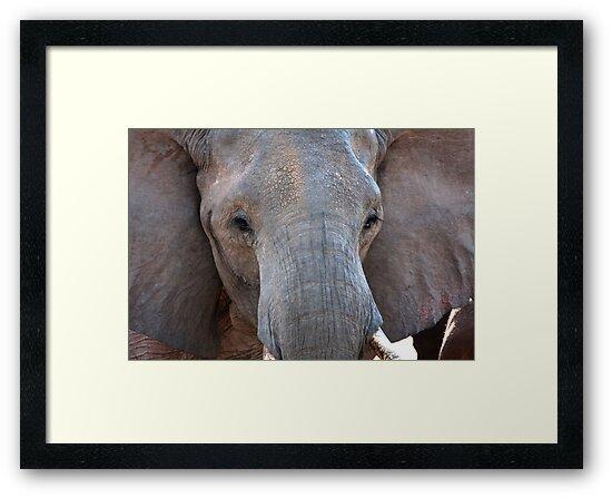 African Elephant Bull  by Samantha Cole-Surjan