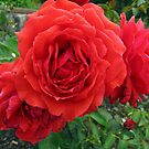 Red Roses  by glennc70000