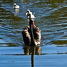 Black Swan Family by Odille Esmonde-Morgan