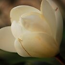 Magnolia Bloom by Sunshinesmile83