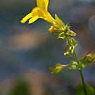 Wild Yellow by Belinda Osgood