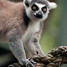 Ring Tailed Lemur by Jenny Dean