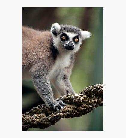 Ring Tailed Lemur Photographic Print