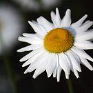 Dear Daisy by Karyn Boehmer