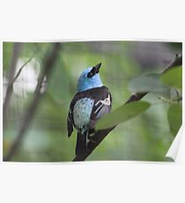 Blue-necked Tanager Poster