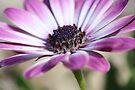 Purple osteospermum by Astrid Ewing Photography