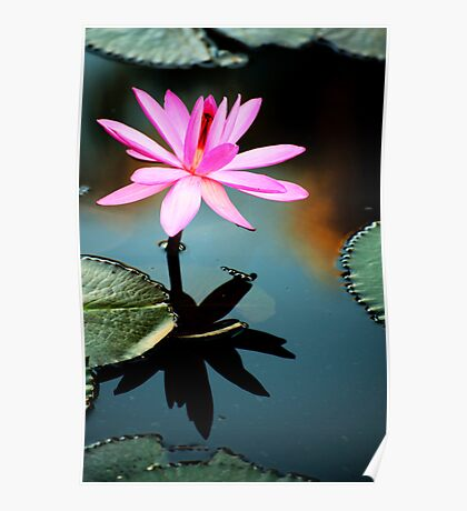 Pink - waterlilly Poster