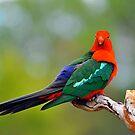 Male King Parrot. Brisbane, Queensland, Australia. (8) by Ralph de Zilva