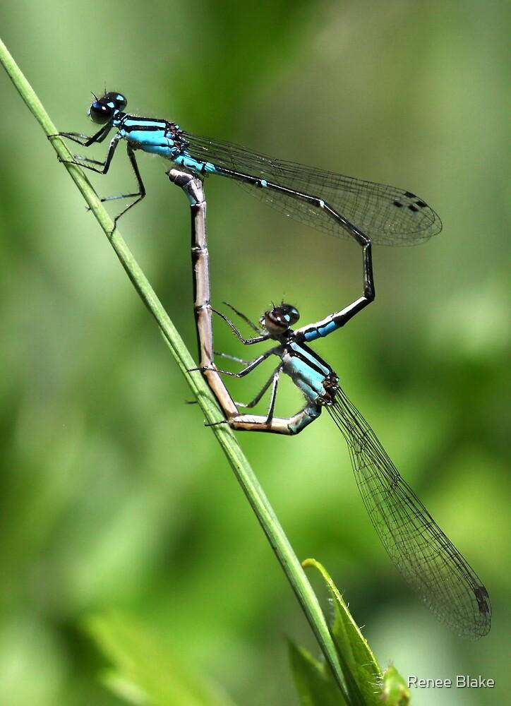 Bluets Mating Game by Renee Blake