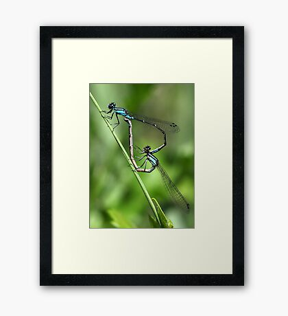 Bluets Mating Game Framed Print