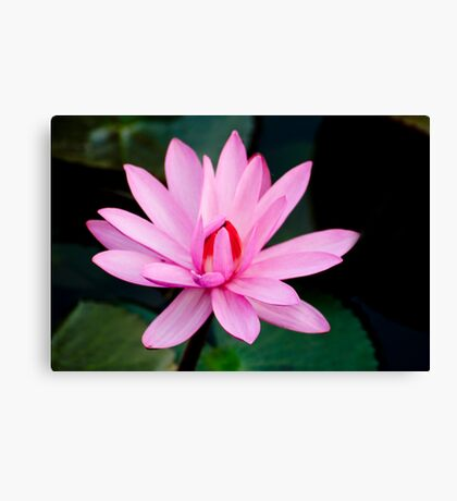 Show Off - pink waterlilly Canvas Print