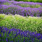 Lavender Layers, The Cotswolds, England by Giles Clare