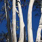 Winter white gums, Leura, Blue Mountains of NSW by Catherine Davis