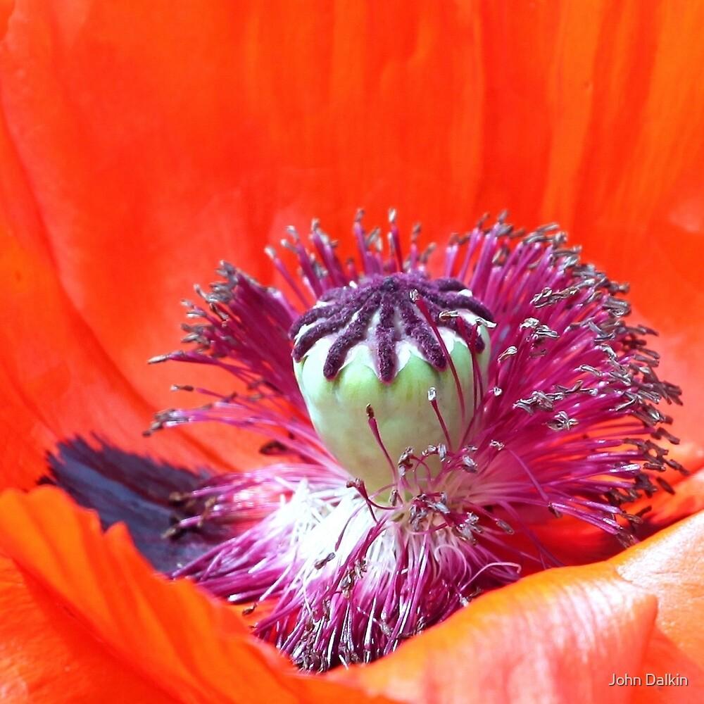 Red Poppy Centre by John Dalkin