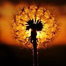 Dandelion Delights by Amy Dee