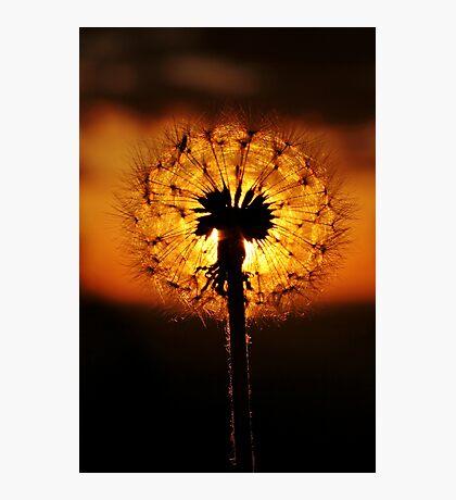 Dandelion Dusk Photographic Print