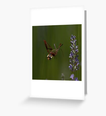 Broad-bordered Bee Hawkmoth Greeting Card