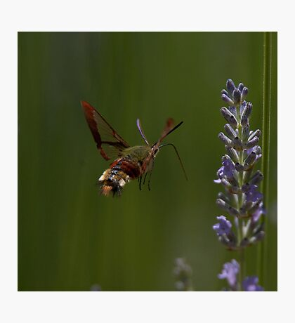 Broad-bordered Bee Hawkmoth Photographic Print