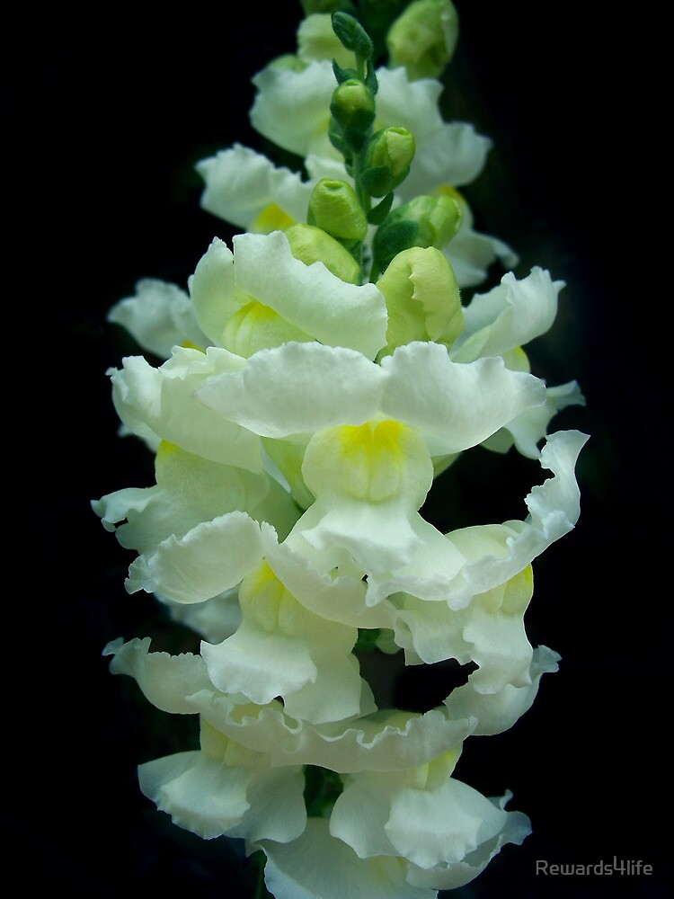 White Snapdragon by Rewards4life