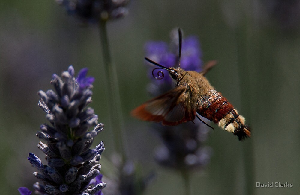 Broad-bordered Bee Hawkmoth 2 by David Clarke